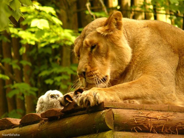 Ez az oroszlán illusztráció.