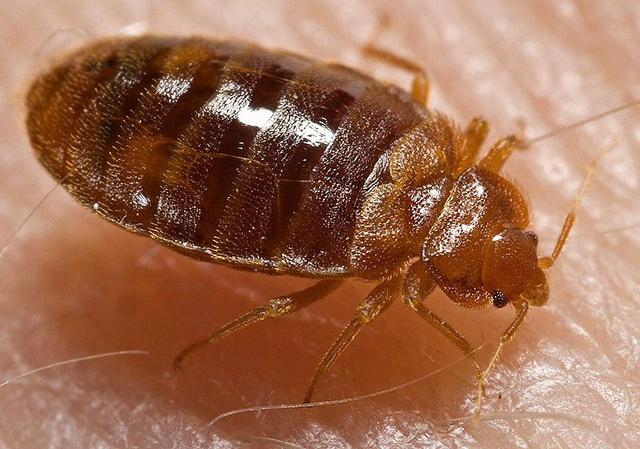 800px-Bed bug, Cimex lectularius