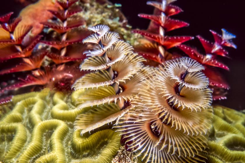Ezek a különleges élőlények a trópusi régiókban élnek. Kalcium-karbonátot kiválasztva meszes vázzal veszik körül magukat, amely megvédi őket a ragadozóktól.