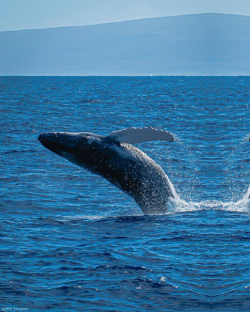 Kék bálna (Balaenoptera musculus) - a bolygó legnagyobb állata, egyben a legnagyobb testű emlősállata a kék bálna, amely 30 méter hosszúra is nőhet, és több mint 170 tonnát is nyomhat. A faj az Atlanti-, a Csendes-, és az Indiai-óceánban honos.