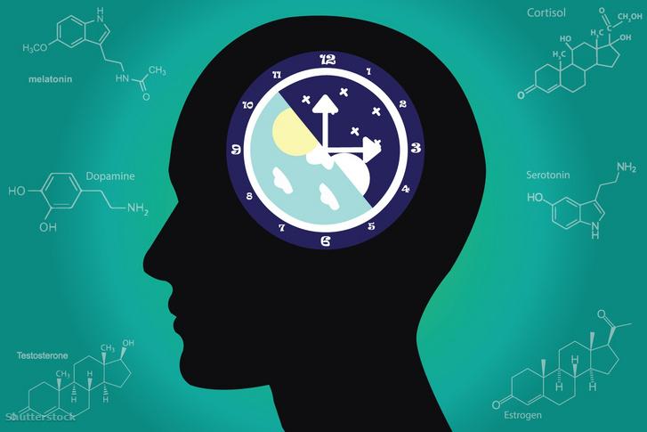 """A szervezet különböző működései periodikusan zajlanak. Ilyen napi vagy más néven cirkadián (latinul circa = körül, dies = nap) ritmus jelentkezik a táplálkozás időzítésében, a testhőmérséklet változásaiban, egyes hormonok szekréciójában, valamint az alvás-ébrenlét váltakozásában is. A napi szabályos váltakozásokért egy endogén ritmusszabályozó, """"belső óra"""" felelős, ez az SCN"""