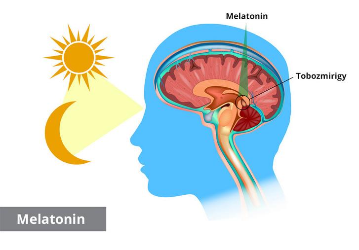A melatonint a tobozmirigy termeli sötétség hatására, fény esetén termelése (fokozatosan) leáll