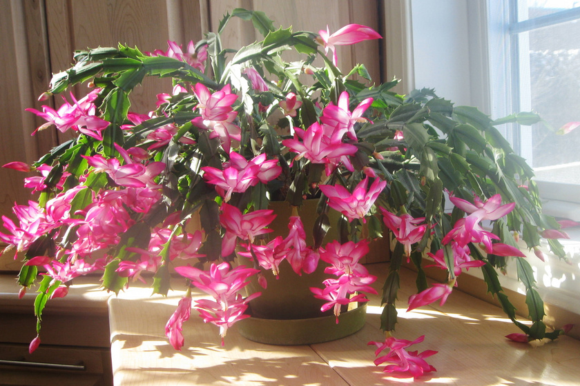 Az ünnepekre roskadozni fog a virágoktól a karácsonyi kaktusz, ha így ápolod - 4 egyszerű, de hasznos tudnivaló