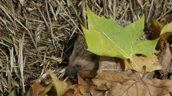 Lombhalmokban bújhatnak meg ősszel a sünök