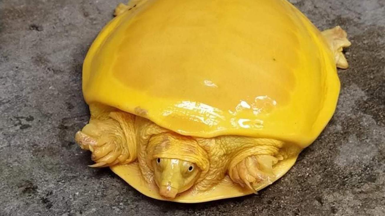 albínó-teknős