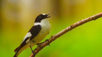Hálózatelemzéssel vizsgálták a madáréneket magyar kutatók