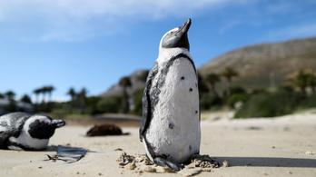 Megmenekülhet a pápaszemes pingvin