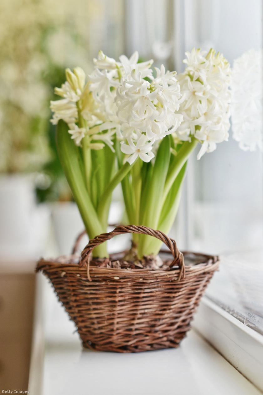 A cserepes jácint minden évszakban hódít, de a tél egyik legkedveltebb és legszebb virága, amivel gyönyörűen lehet díszíteni az otthonokat. Ugyanakkor a növény minden része mérgező, gyomorfájást, hányást, hasmenést válthat ki, így érdemes a lakás legmagasabb pontjára helyezni, hogy a kicsik még véletlenül se érjék el.