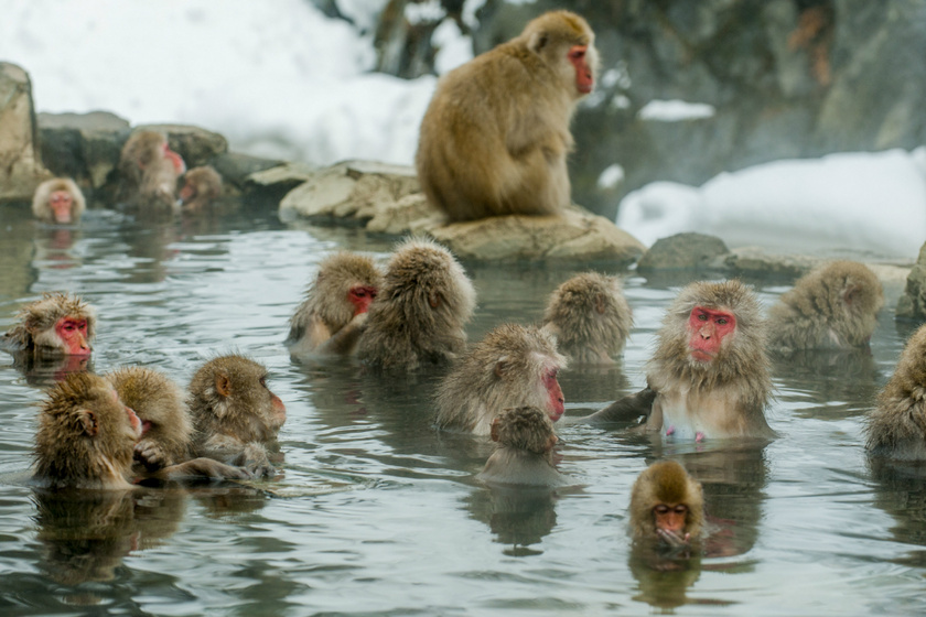 Hihetetlenül édesek a termálfürdőző havasi majmok: Nagano gyönyörű tájain élnek