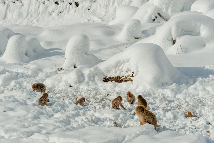 Yokoyu-folyó mentén, a Shiga Kogen-hegy aljában fekszik a Jokudani, azaz a Pokol völgye. Az év harmadában hó fedi a tájat, a zord környezetet geotermikus tevékenységek alakították, mégis a környező erdőkben és hegyekben közel száz makákó él.