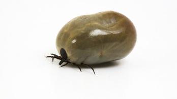 Lyme-kór ellen védő fehérjét azonosítottak