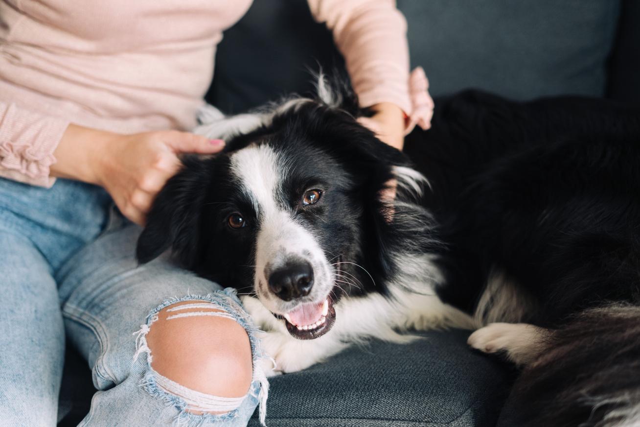 border-collie-kutya