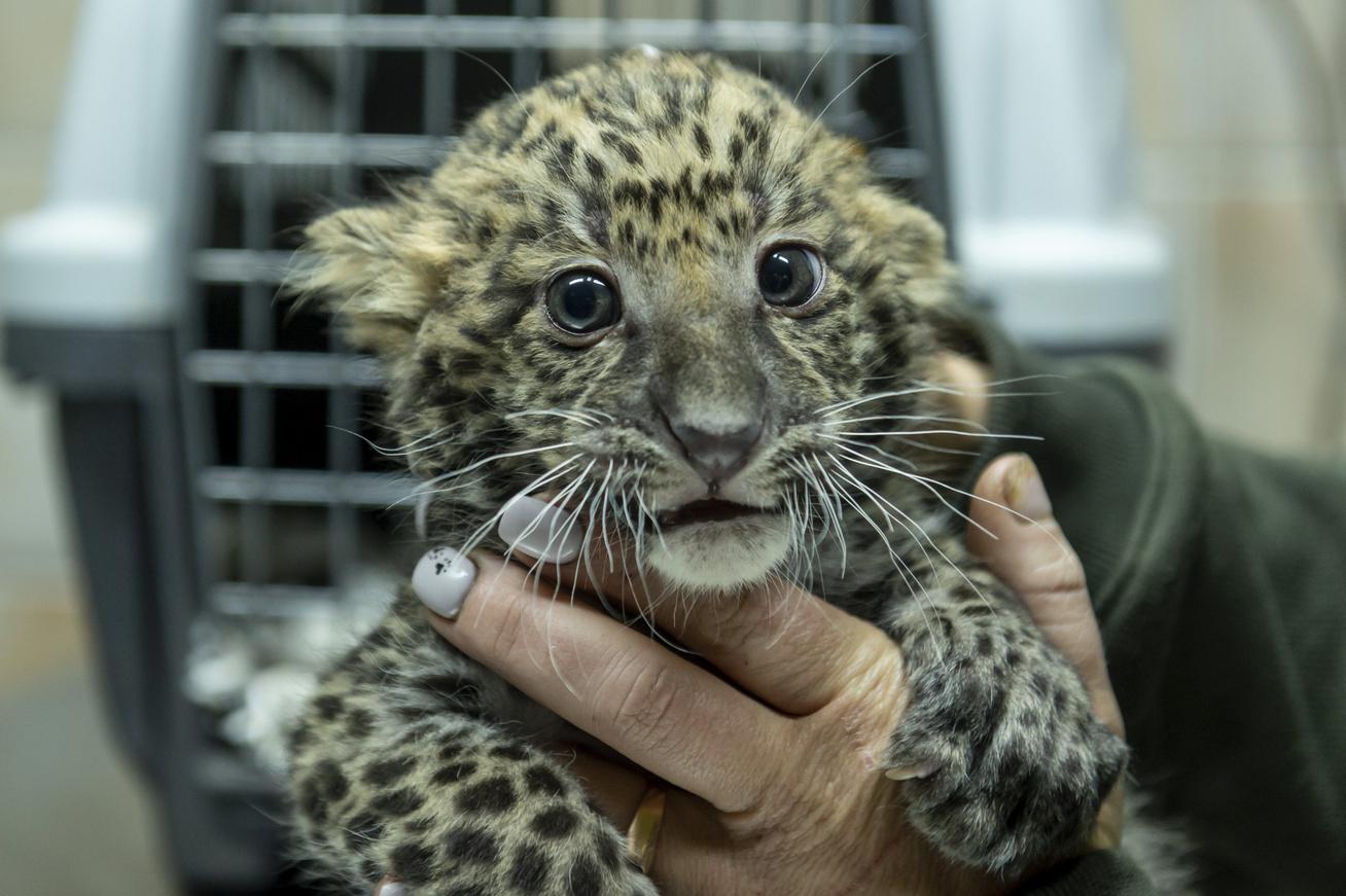 leopárd4