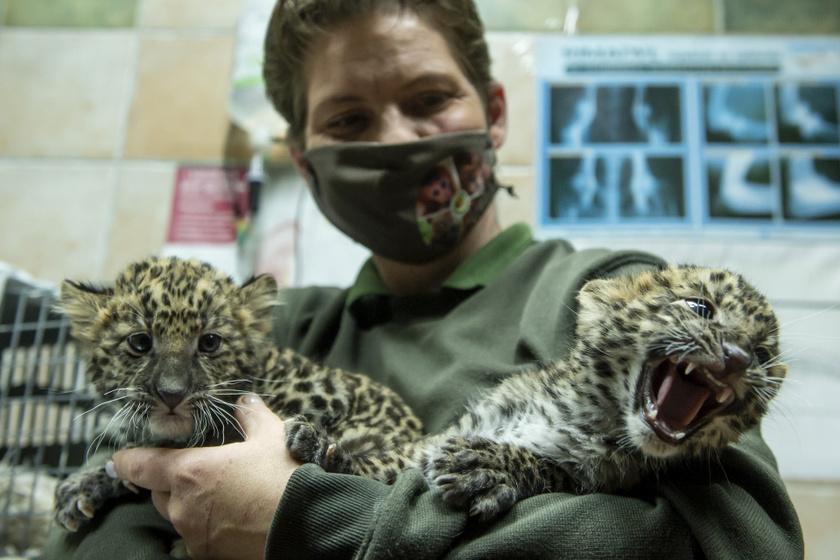 A leopárdok rendkívül sokáig, akár 21 évig is élhetnek, a nőstények pedig csak 3 hónapig vemhesek kölykeikkel.