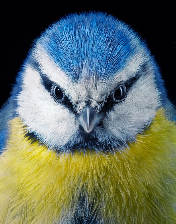 Kék cinege - Európa egyetlen kék-sárga madara, jól megél az emberek közelségében is, nem költözik melegebb éghajlatra télen.