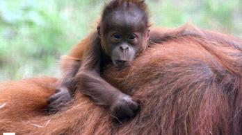 A járvány miatt az emberszabású majmokra különösen vigyáznak az állatkertben