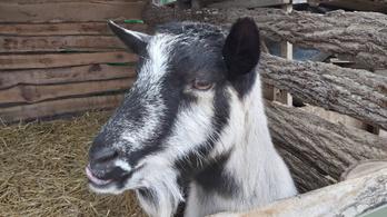 Borzalmas bűnlajstroma van a kaposvári kecskegyilkosnak