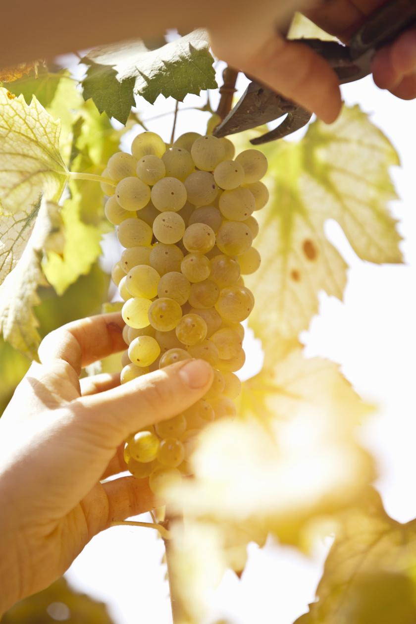 szőlőfürt álló