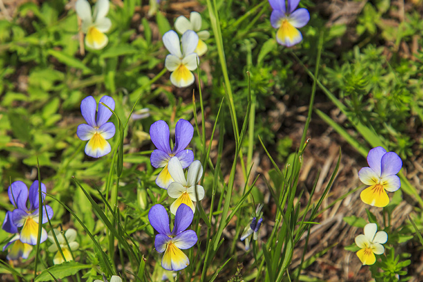 vadarvacska viola tricolor