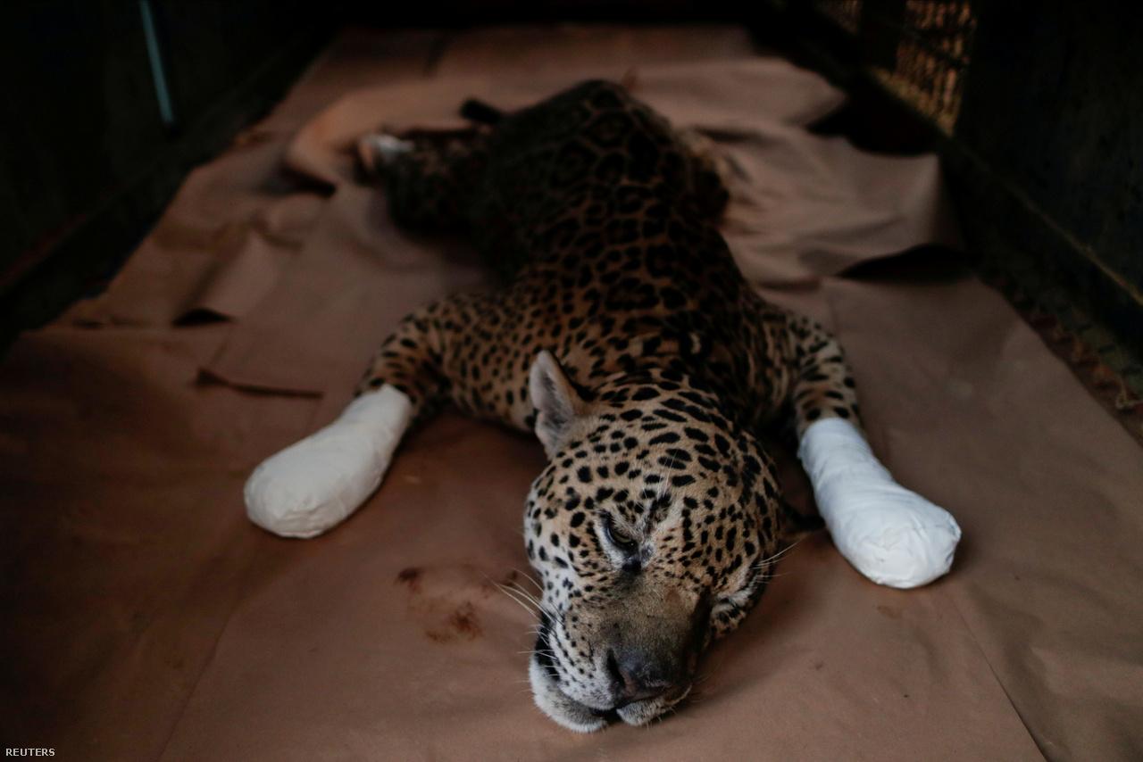 Égési sérüléseiből gyógyuló jaguár Brazilia Goias államában 2020. szeptember 19-én Az állat rezervátumbeli lakóhelyén lábadozik, ahol korábban tűz ütött ki.