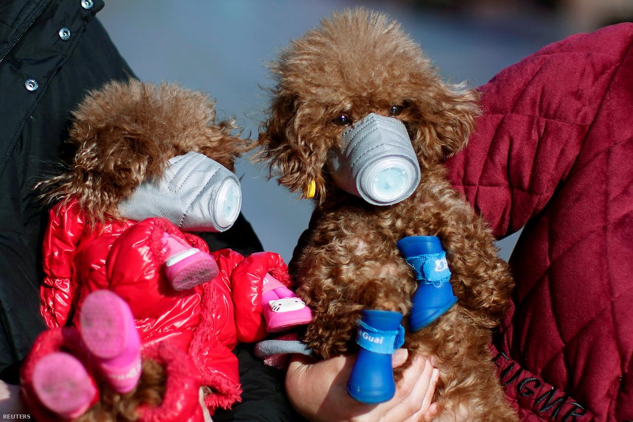 Maszkot viselő kutyák a koronavírus kitörése után Sanghaj belvárosában 2020. február 16-án.