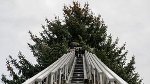 Kivágták és hamarosan állítják is az ország karácsonyfáját