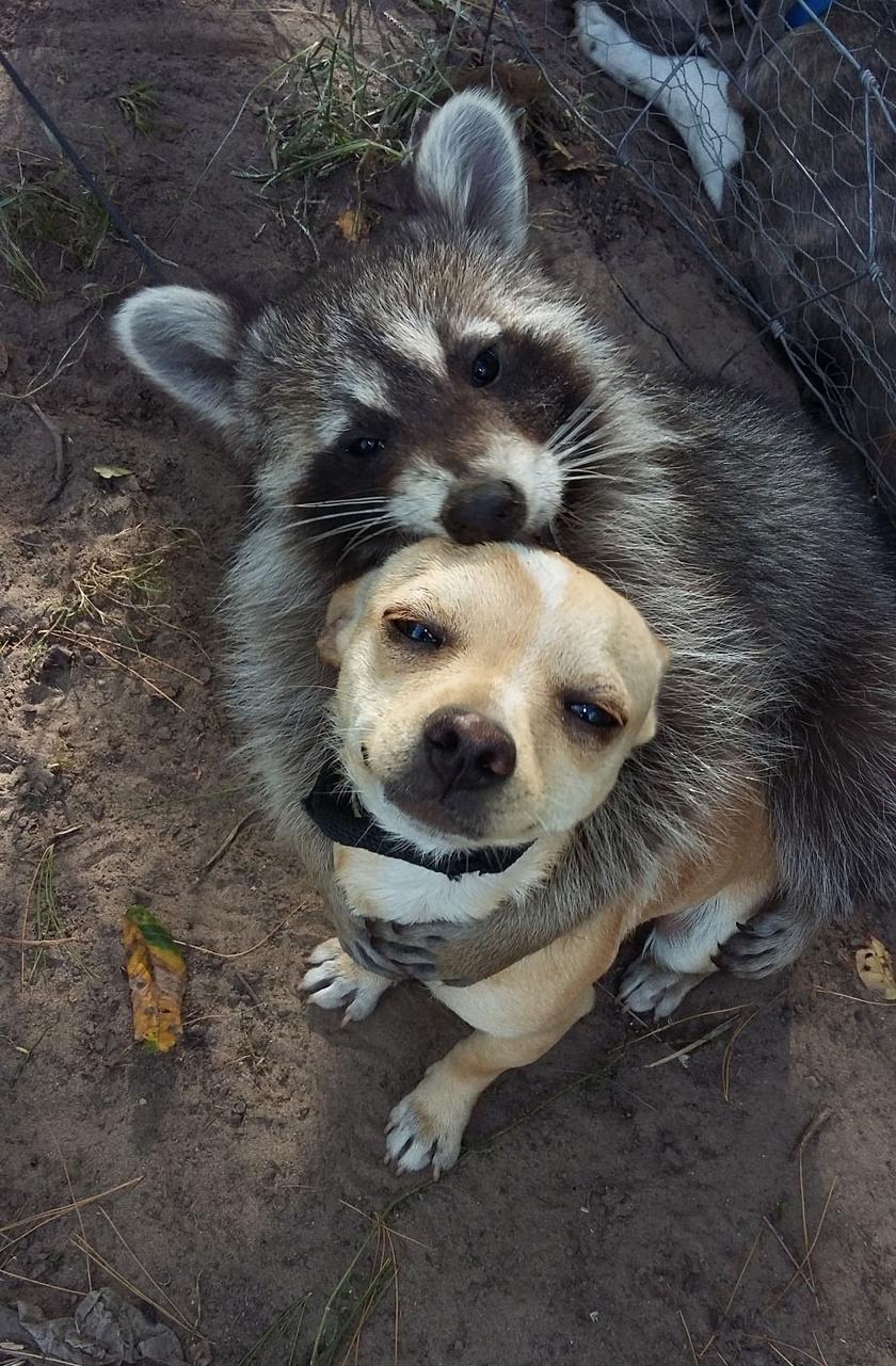 A kutyus szinte elolvad mosómedve barátja ölelésétől.