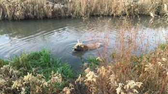 Traktorral mentettek ki egy csatornában rekedt szarvasmarhát a Fejér megyei tűzoltók