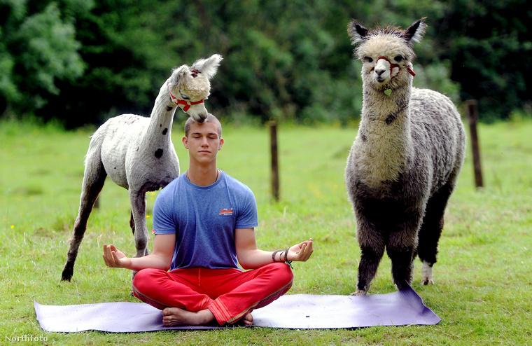 Így néz ki, amikor a Gloucestershire-i alpakka központban éppen jógaórát tartanak
