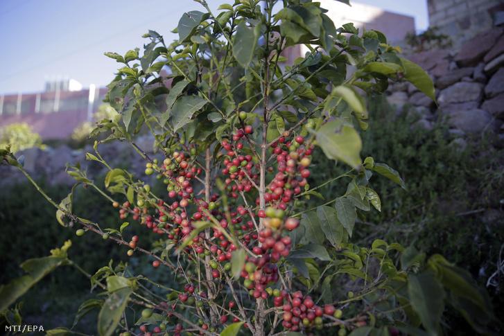Szüretelésre kész, érett mocha kávébabszemek a jemeni Haraz-hegységben