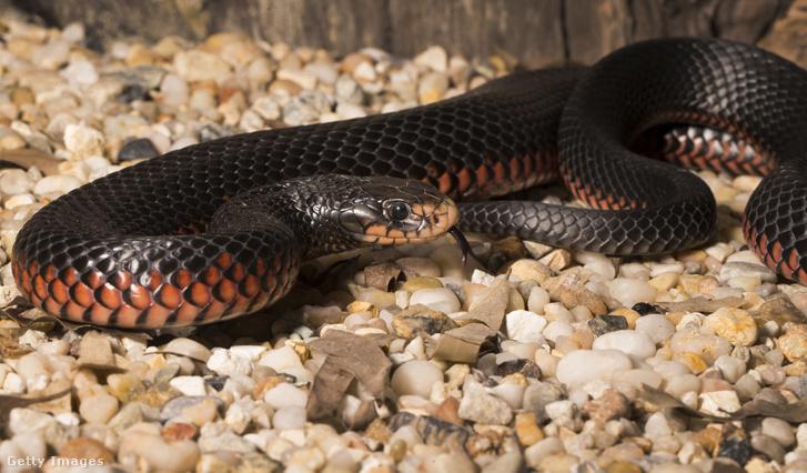 Vöröshasú fekete kígyó