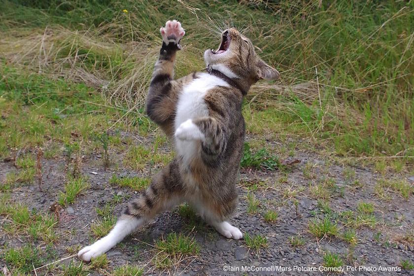 Iain Mcconnell: Drámázó macska