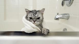 Miért utálják annyira a macskák a vizet? 5 okuk is van rá