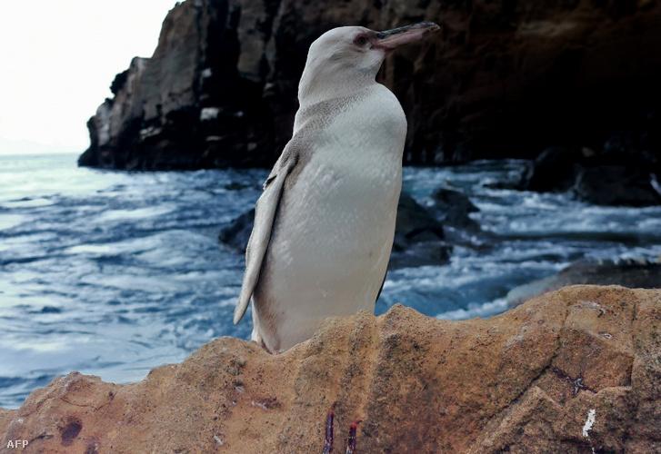 2020. november 19-én készült kép a fehérpingvinről (Spheniscus mendiculos)