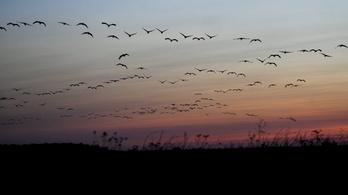 Megjelent a madárinfluenza, Belgiumban több tízezer állatot pusztítanak el