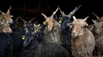 Tényleg itt a tél, mert a Hortobágyon a téli szállásukra terelik az állatokat