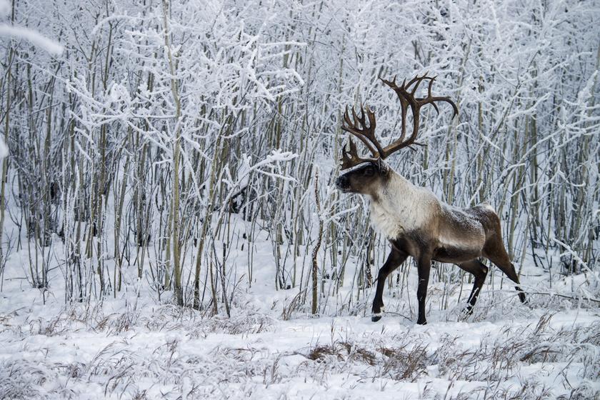 A rénszarvasok egyik, észak-amerikai alfaja az erdei karibu. Ez a példány Kanada Yukon territóriumában kémleli a tájat. A többi karibuval ellentétben nem tesz óriási vándorutakat, és nem is él nagy csordákban.