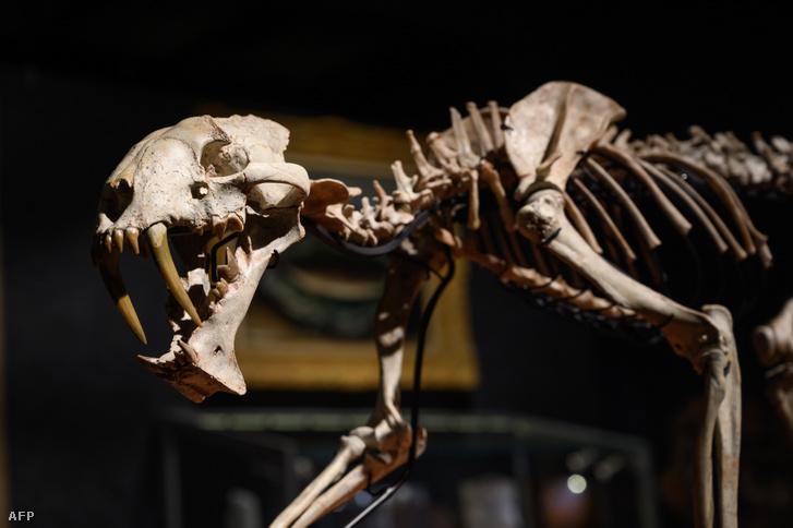 December 8-án leütésre kerülő kardfogú macska csontváza