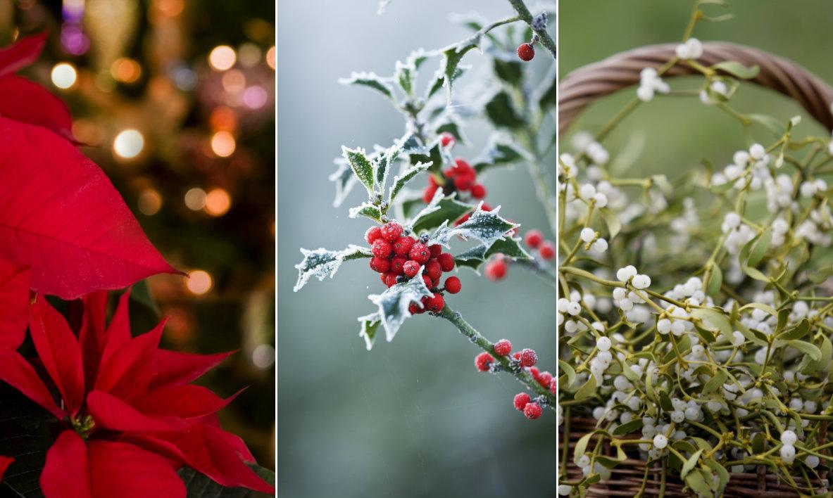 karácsonyi növények cov
