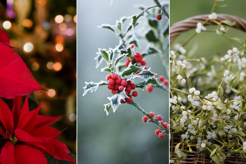 Mit üzennek a karácsony hagyományos növényei? A magyal szerencsét hoz, a fagyöngy az örök szerelem záloga