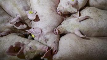 Már érzik a hazai sertéstartók a németországi afrikai sertéspestis hatását