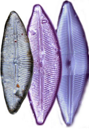 Az 1960-as évek előtt rakódott le üledékben sok nagy testű kovaalga. A képen a Cymbopleura inaequalis kovaalga három példányát láthatjuk fénymikroszkópos felvételen