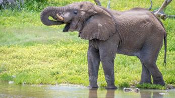 Namíbia elárverezné elefántjait az aszály miatt