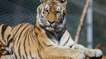 Tigris támadt egy idős önkéntesre Floridában