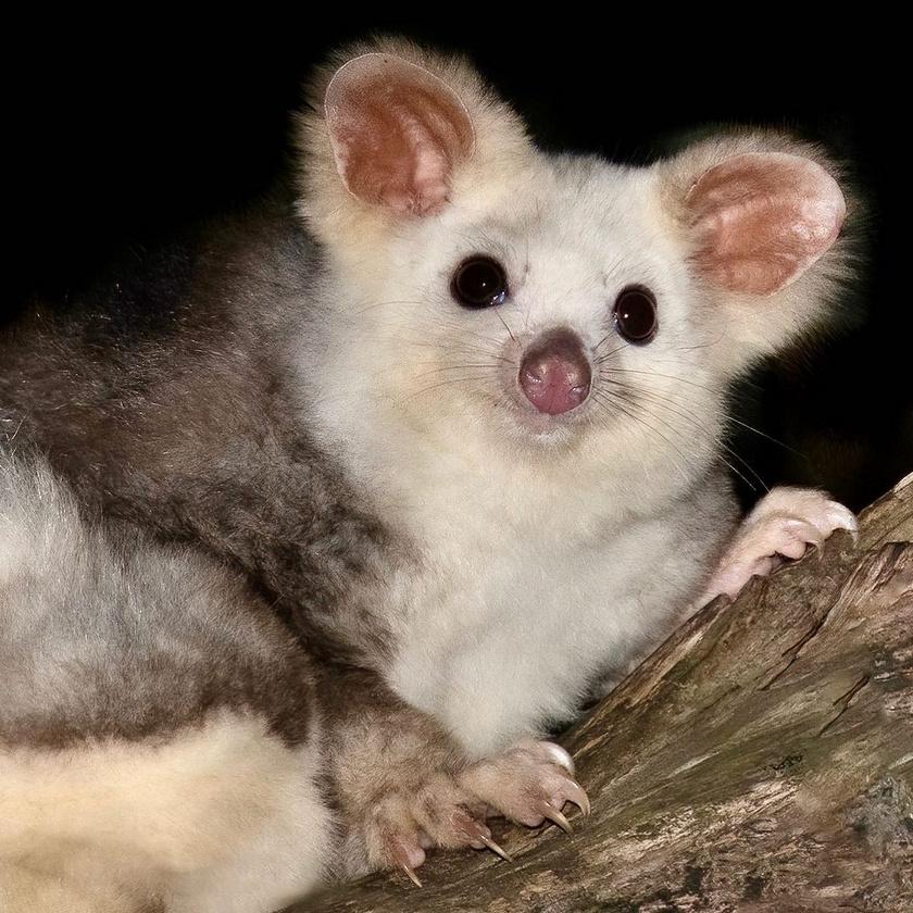 Aranyos külsejét elsősorban puha bundájának és nagy füleinek köszönheti, amik remekül segítik az éjszakai tájékozódásban.