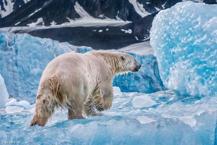 Jegesmedve mászik ki a Barents-tengerből