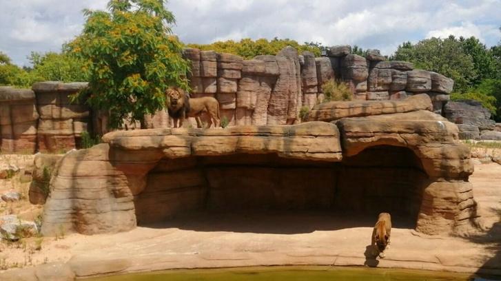 A barcelonai állatkert oroszlánjai