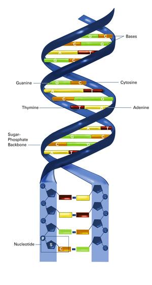 A DNS alakja