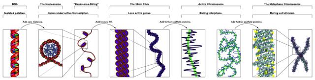 Balra a DNS, utána a fenti képen már látott nukleoszóma, mely fehérjék segítségével további térbeli szerkezetekbe  rendeződve végül kiadja a jobb oldalon látható kromoszómát. Kattintásra nagyobb lesz.