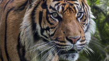 Súlyosan megsebesített egy tigris egy nőt Csehországban